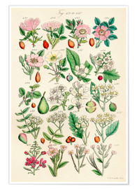 Poster  Fleurs sauvages Fig. 421-440 - Sowerby Collection
