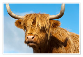 Poster Scottish highland cattle