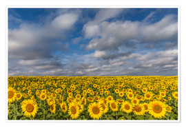 Poster  Sea of Sunflowers - Achim Thomae