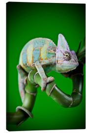 Tableau sur toile  green chameleon on bamboo