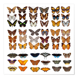 Poster  Chart of butterflies