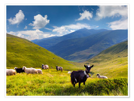 Poster  Herd of sheep and goats in the mountains
