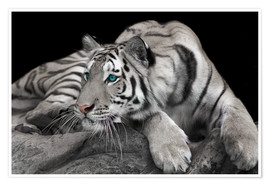 Poster  Tigre curieux