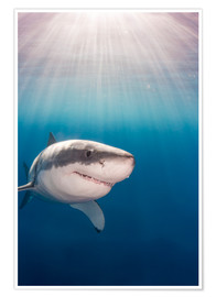 Poster Grand requin blanc
