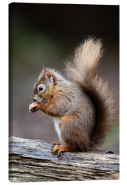 Tableau sur toile  Red squirrel grooming - Colin Varndell
