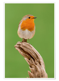 Poster  perching robin