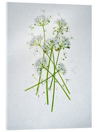 Tableau en verre acrylique  Allium ursinum, medicinal herb - Axel Killian