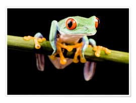 Poster  Tree frog on black