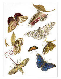 Poster  Moths and butterfiles - Maria Sibylla Merian