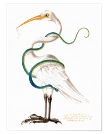 Poster  Heron encircled by a snake, with a worm in his bill - Maria Sibylla Merian