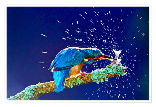 Poster Common Kingfisher stunning fish against branch