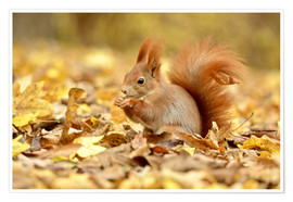 Poster Red Squirrel in an urban park in autumn