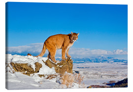 Tableau sur toile  Puma standing on rock in snow, Rocky Mountains - FLPA
