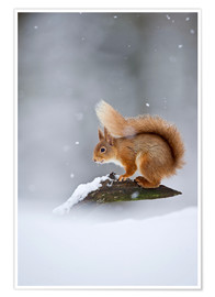 Poster Eurasian Red Squirrel standing on branch in snow