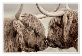 Poster  Vaches highlands se saluant