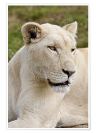 Poster White Lioness