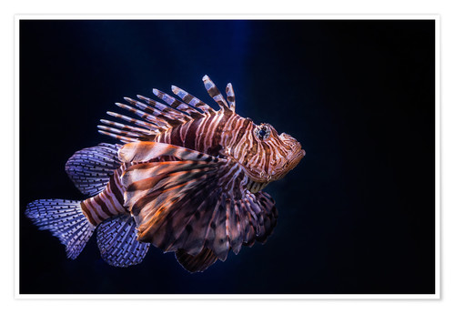 Poster Lionfish
