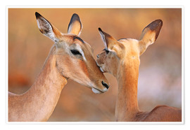 Poster Impala friends, South Africa
