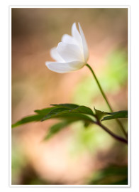 Poster Wood anemone - blooming with soft background