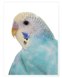 Poster Young, blue budgerigar