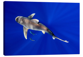 Tableau sur toile  Oceanic Whitetip Shark with pilot fish around it - Cultura/Seb Oliver