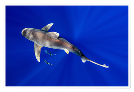 Poster  Oceanic Whitetip Shark with pilot fish around it - Cultura/Seb Oliver
