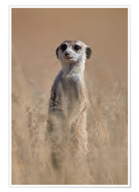 Poster  Suricate curieux - James Hager