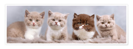 Poster Chatons British Shorthair